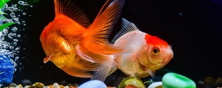Los peces de aguan no necesitan una atención constante