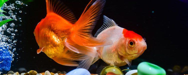 Cu les son los mejores peces de agua fr a bekia mascotas for Peces para peceras pequenas agua fria