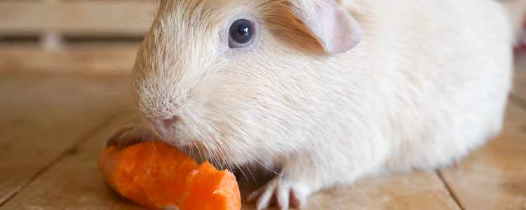 La cobaya necesita vitamina y fibra diaria
