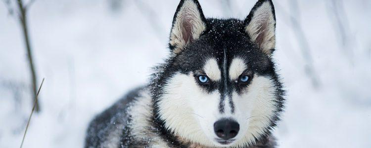 Su pasado se remonta a una fusión entre el perro y el lobo