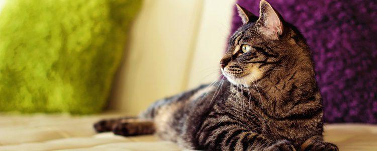 Alrededor del 50% de los gatos pueden ser afectados por el catnip