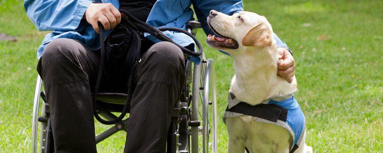 Labrador ayudando a un hombre con discapacidad física