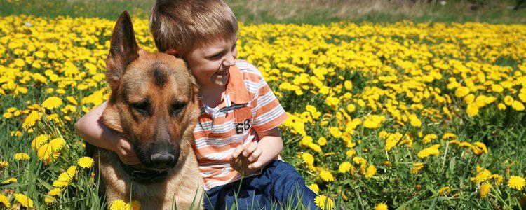 Además de usarse en terapia, los Pastores Alemanes son ideales para perros policía