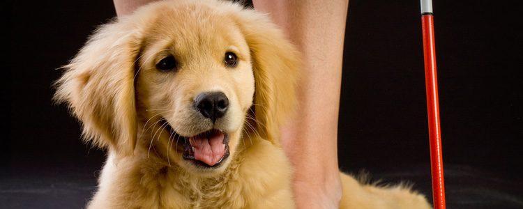 Muy parecido al labrador, el Golden Retriever es ideal