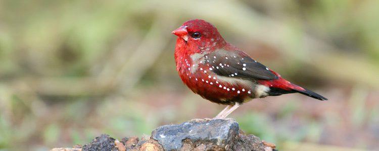 El bengalí rojo también puede verse en España