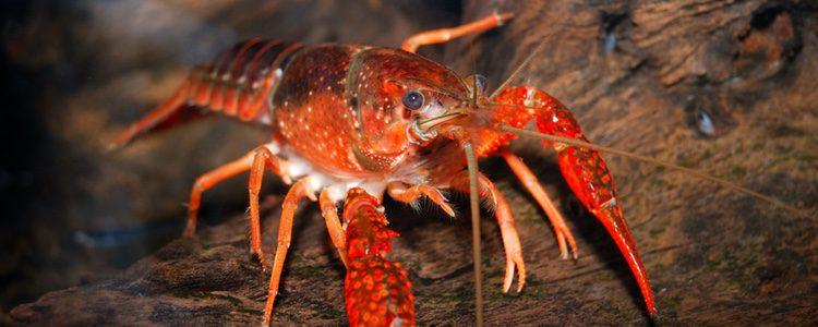 El cangrejo rojo americano se alimenta de anfibios y huevos