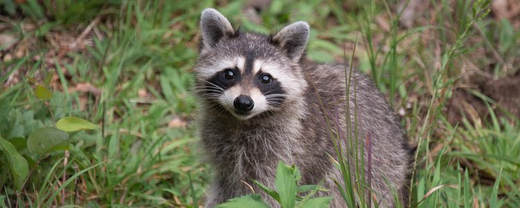 El mapache es un animal salvaje aunque ha sido vendido como mascota