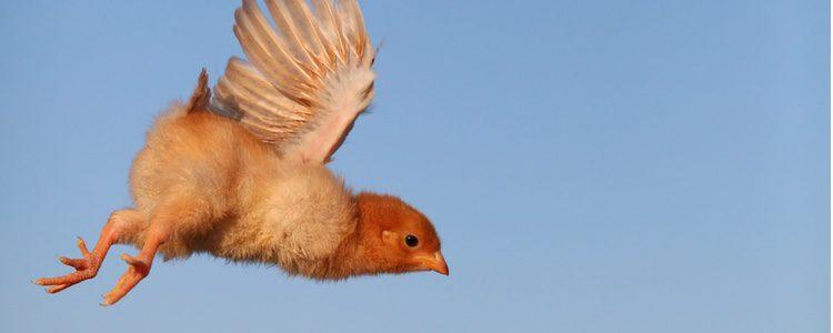 Siempre debes de comprobar si los padres del polluelo se encuentran cerca de él