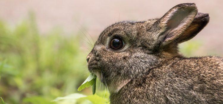 Los conejos pertenecen al grupo de los lagomorfos