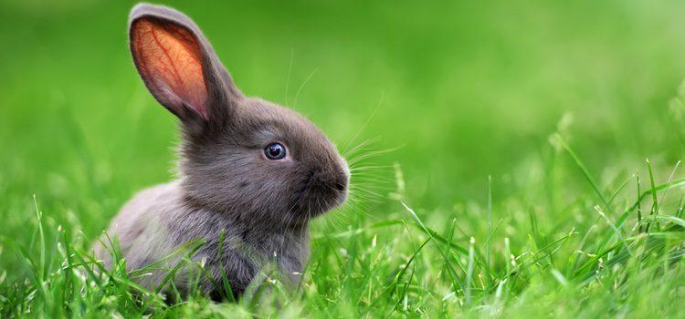 El conejo es un animal que tiene seis incisivos