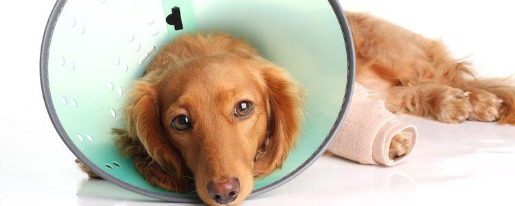 Curar una herida en la almohadilla del perro