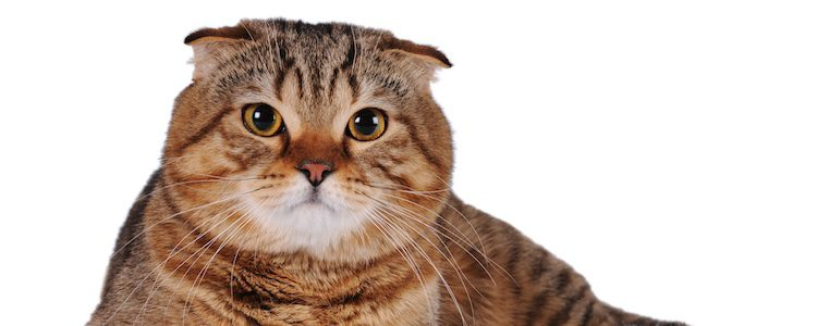 Estos gatos destacan por su amabilidad