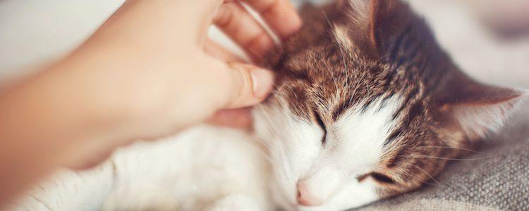 El gato es el único animal que se domesticó hace a sí mismo