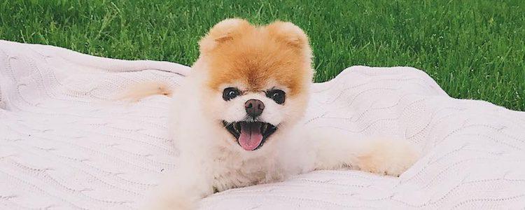 Boo, el perro más bonito del mundo