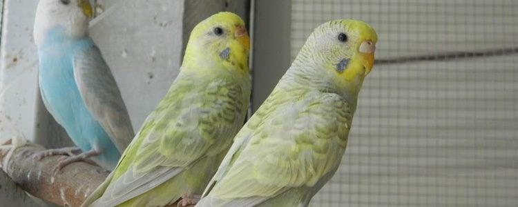 Su rostro es de color amarillo con varias intensidades