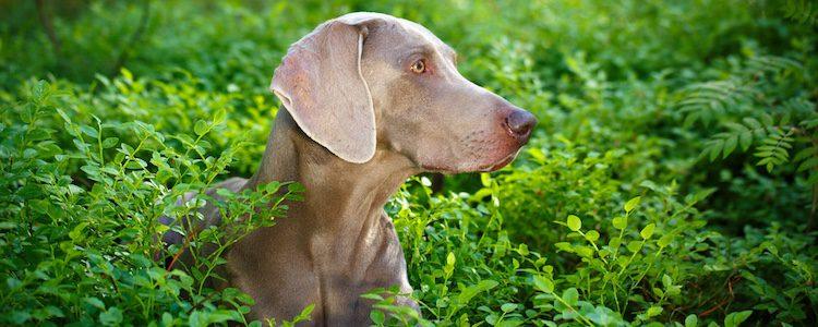 La boca de un perro tiene menos bacterias que la de un humano