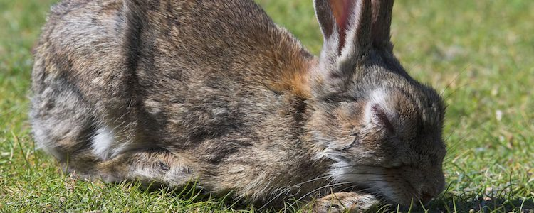 Los perros, los conejos y las liebres son propensos a contagiarse de este virus