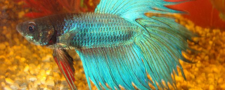 Los peces Betta son principalmente omnívoros y herbívoros