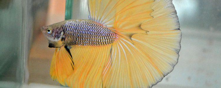 Este pez puede presumir de tener variables con colores preciosos
