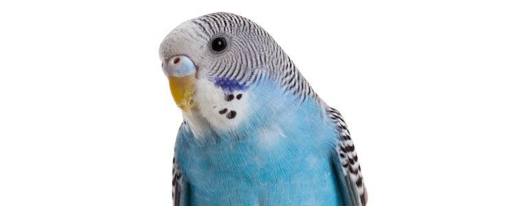 Estos pájaros salieron de Australia