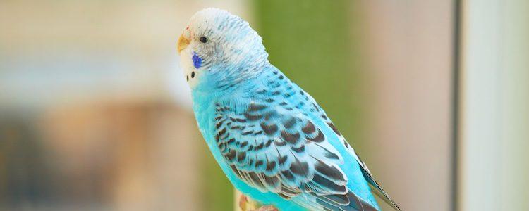 Es un pájaro muy domesticable