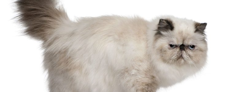 A día de hoy se desconoce cómo surgió exactamente esta peculiar raza de felinos