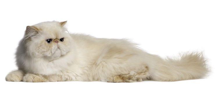 Cepilla con frecuencia el pelo de tu gato