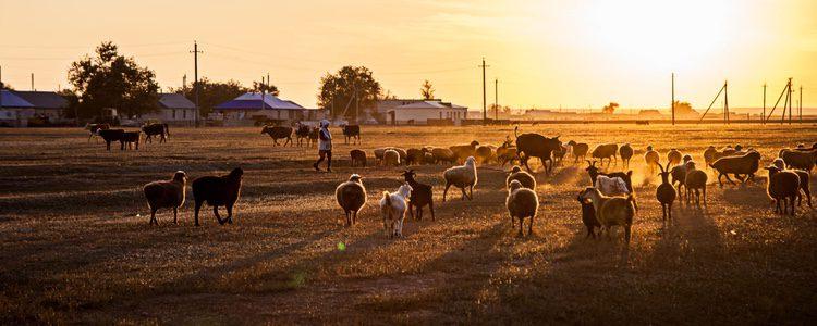 Es un perro dedicado especialmente al pastoreo