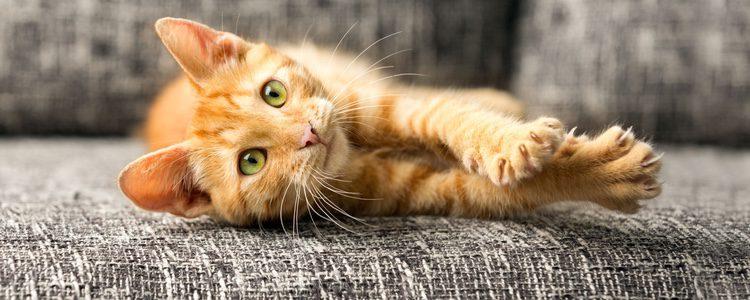 Los gatos también sufren diabetes