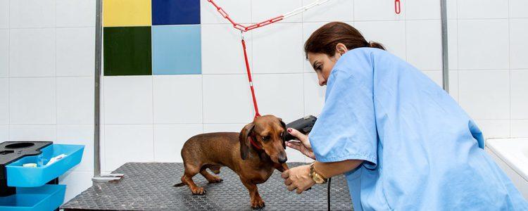 Hay cuidarlo como a cualquier otro perro