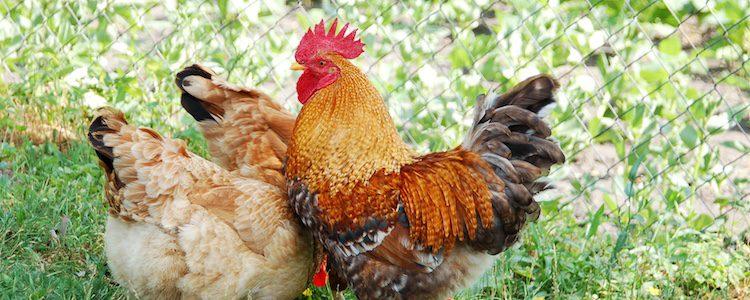 Las gallinas son naturales del Sudeste asiático