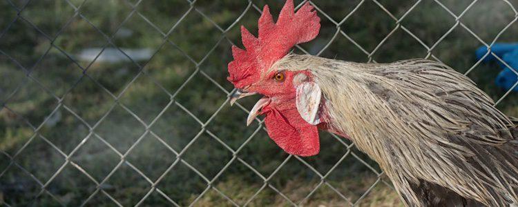 Fueron los ingleses los que trajeron esta gallina a España