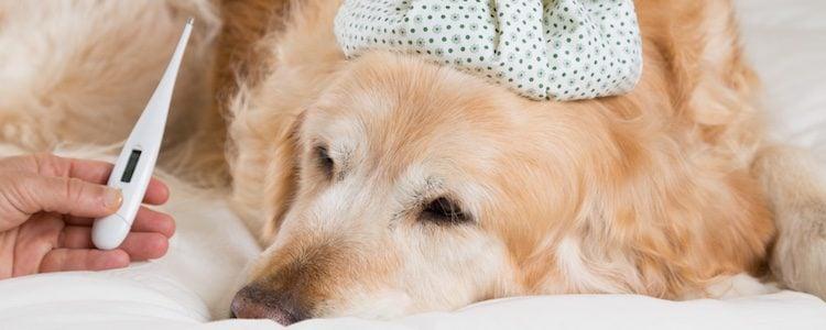 Si tu perro está enfermo puedes darle Dalsy