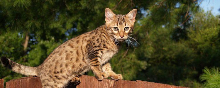 Este fantástico felino vive en la Sabana