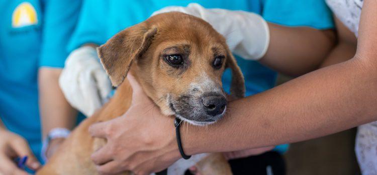 La quimioterapia es mas suave en los perros que en las personas