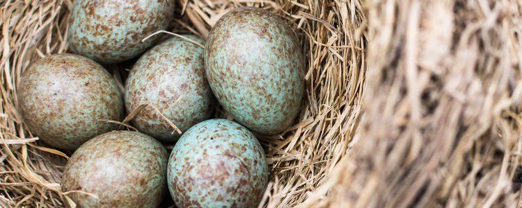 Huevos de cuco
