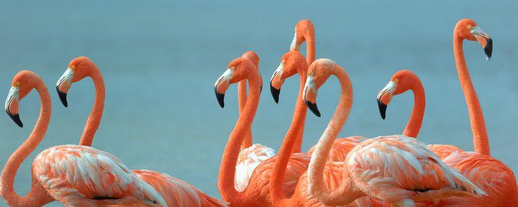 El color de los flamencos se debe a su alimentación