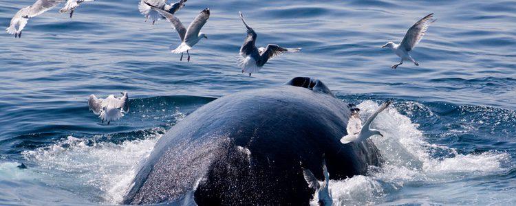 Las gaviotas son un gran peligro para las ballenas
