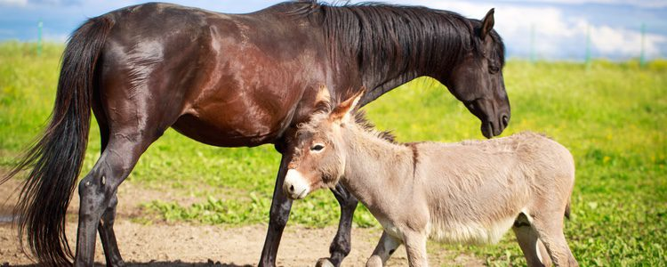 El caballo y el burro comparten más del 97% de sus genes