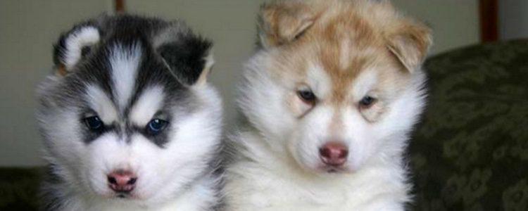 Existen varios tipos de perro Pomsky con diferentes tamaños