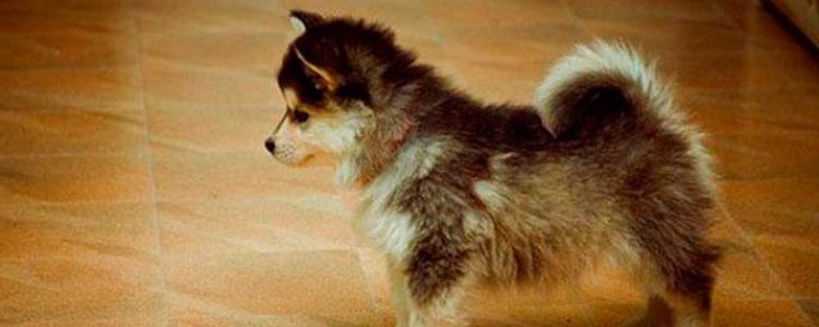 El color de los ojos de un Pomsky es variable