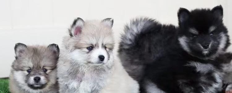 Resulta muy difícil conseguir un cachorro de dicha raza