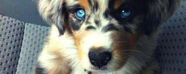 El Husky Dorado es precioso y su pelaje adquiete tonalidades marrones | Fuente: perfecto.guru