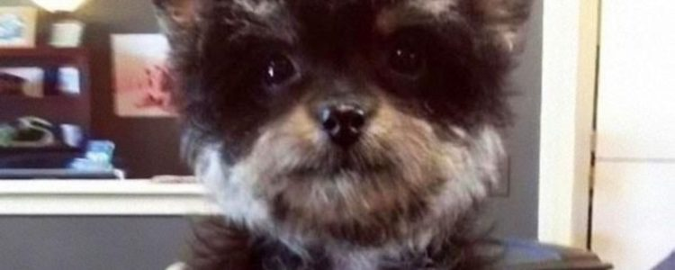 El Yorkipoo es uno de los cruces de razas de perro más adorables | Fuente: perfecto.guru