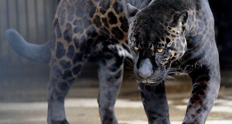 Cruce entre jaguar y leona