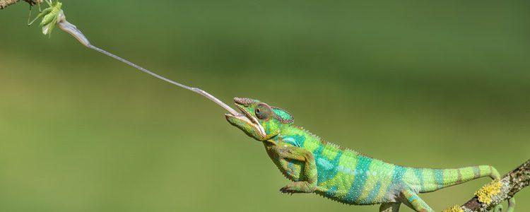 Existen más de cien especies de este reptil