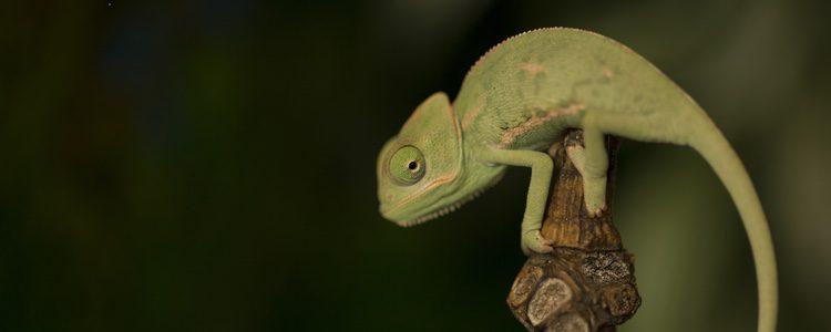 Los camaleones agradecen el cariño al igual que otros animales domésticos