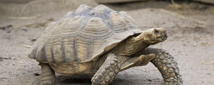 El metabolismo de estas tortugas se vincula con la temperatura ambiente