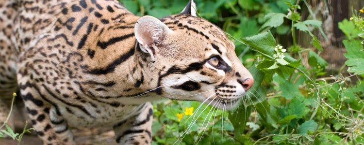 El ocelote es similar a un leopardo pero en miniatura