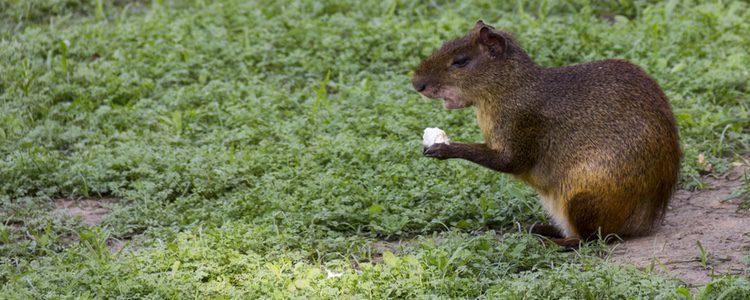 El 'Robin Hood' de los roedores